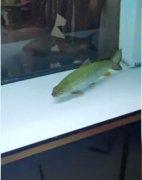 近日,广西一名男子钓到两条鱼带回家喂养,结果这两条鱼却做出可怕举动,直接把鱼缸给撞碎,男子
